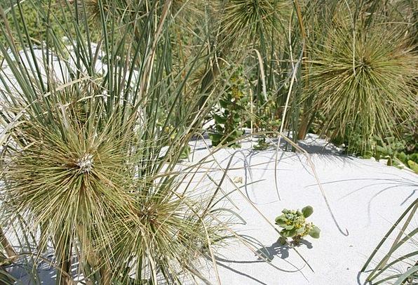 Dune Grass Dune Fauna Needle Grass In The Sand