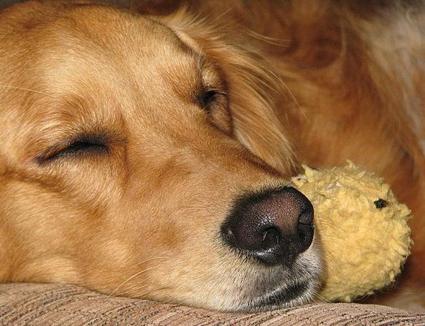 Golden Retriever Canine Sleeping Asleep Dog Affect