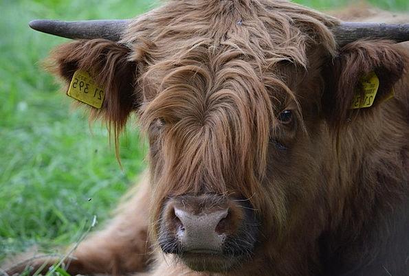 Scottish Hochlandrind Complaint Highlander Beef Ox