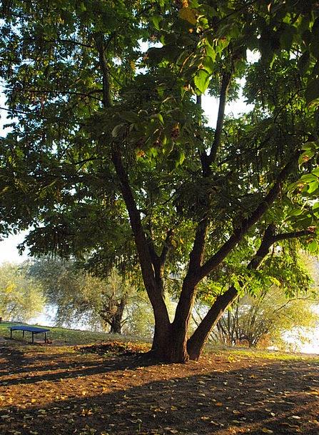 Tree Sapling Common Main Chief Park River Stream M