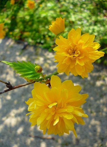 Boglárkacserje Creamy Flower Floret Yellow Jardin