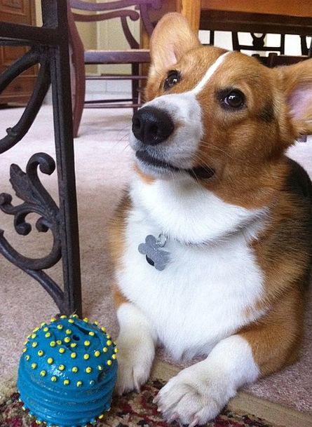 Dog Pet Domesticated Corgi Mammal Puppy Brat Welsh
