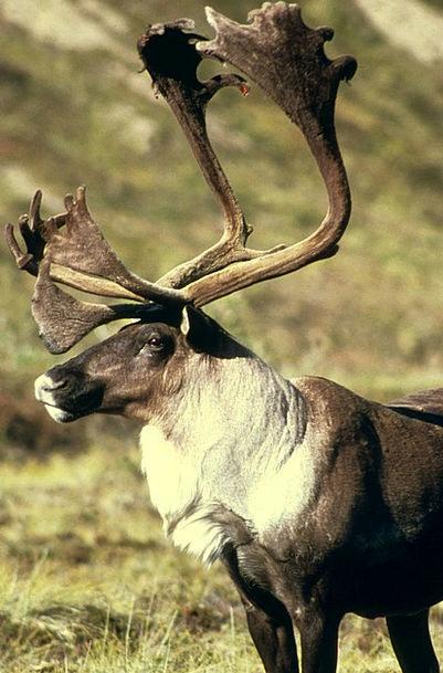 Animal Physical Reindeer Elk Caribou Deers Animals