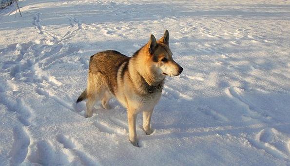 Dog Canine Casanova On Happening Wolf Snow Snowfla