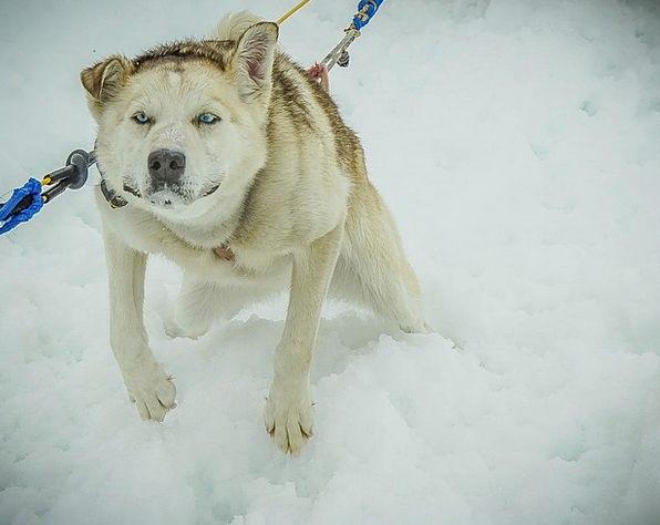 Sled Dogs Dog Sled Alaska Sled Bobsled Dogsled Dog