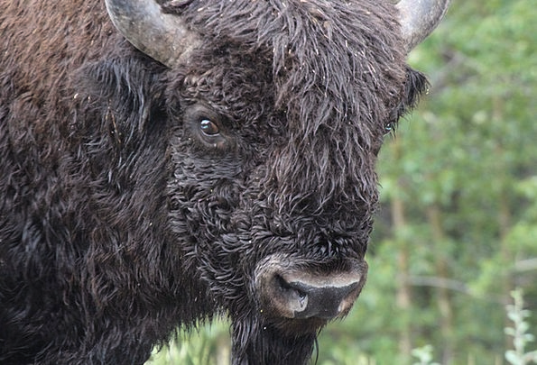 Bison Intimidate Cattle Cows Buffalo Animal Physic