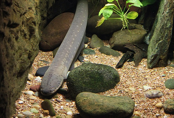 Eel Angle Underwater Submerged Fish Swimming Aquar