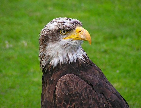Bald Eagle Novice Head Skull Cub Portrait Represen