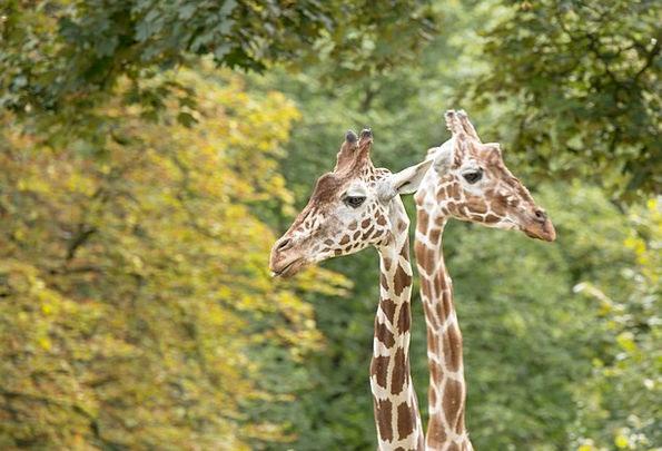 Giraffes Neckline Giraffe Neck Neck Animal World Z