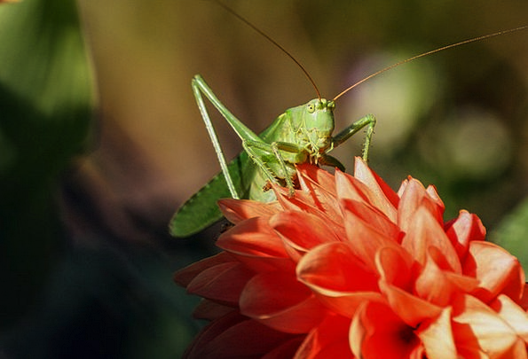 Grasshopper Bug Viridissima Insect Nature Countrys