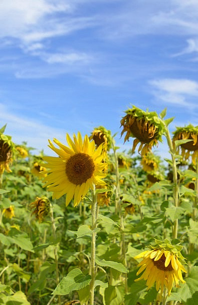 Sunflowers Landscapes Arena Nature Sky Blue Field