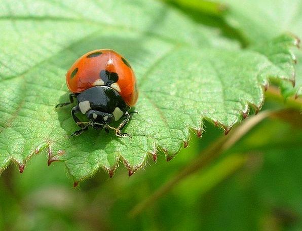 Ladybug Piece Ladybird Sheet Insect Bug Macro Natu