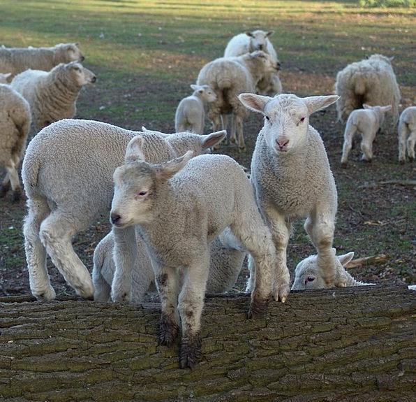 Sheep Ewe Lambs Beefs Schäfchen Lamb Beef Easter