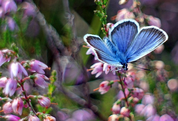 Common Blue Butterflies Nerves Butterfly Blue Azur