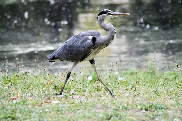 Grey Heron Wader Gumboot Ardea Cinerea Graceful El