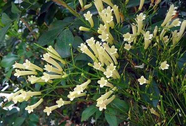 Firecracker Plant Flower Floret Coral Plant Creami