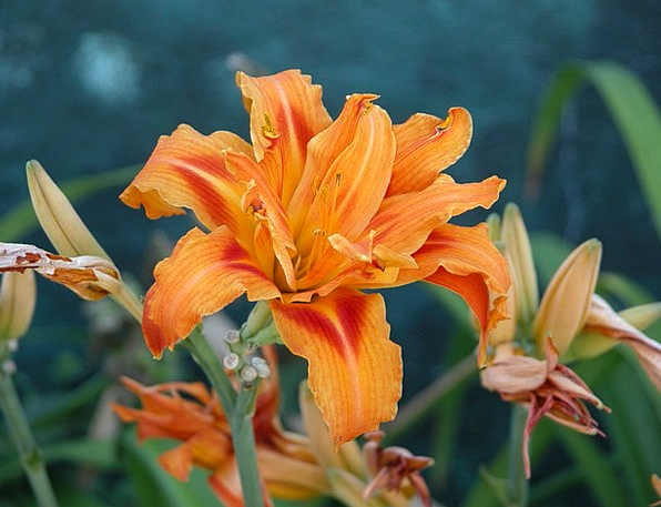 Lily Carroty Flower Floret Orange Fall Colors