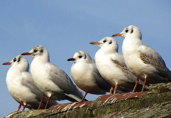 Seagulls Natures Animals Faunae Birds