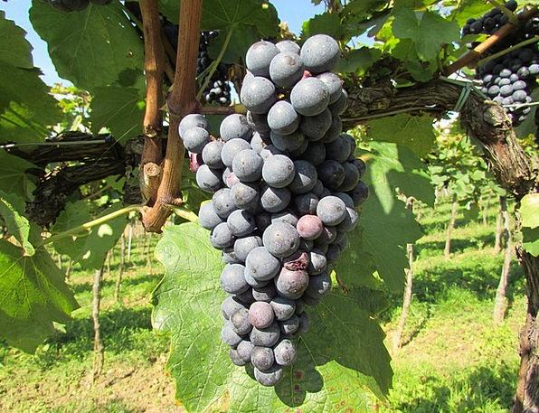 Grapes Mauve Vine Creeper Wine Blue Grapes Blue Az