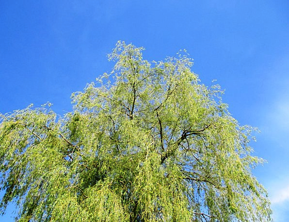 Weeping Willow Sapling Leaves Greeneries Tree Gree