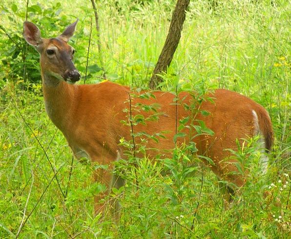 Deer Woods Forests Doe Male Trees Plants Buck Summ