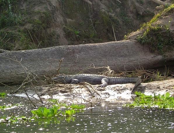 Nepal Chitwan Aligator National Park Predator Wild