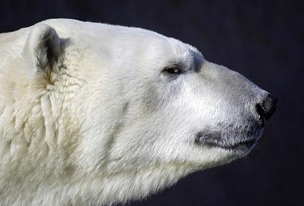 Polar Bear Physical Predator Marauder Animal Head