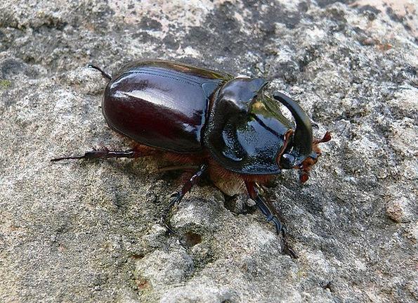 Copris Hispanus Boar Pig Scarabaeidae Beetle Insec