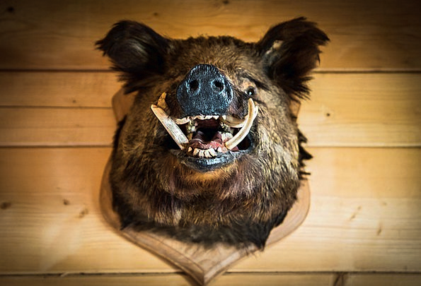The Head Of The Boar Trophy Cup Wild Boar Poland C