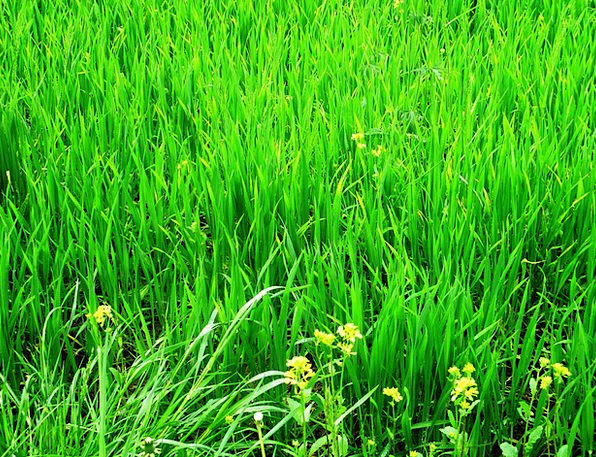 Grass Lawn Landscapes Field Nature Plant Vegetable