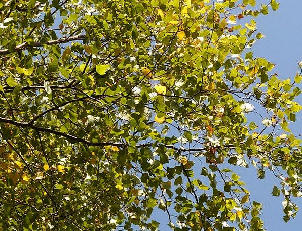 Leaves Greeneries Sapling Summer Straw-hat Tree Li
