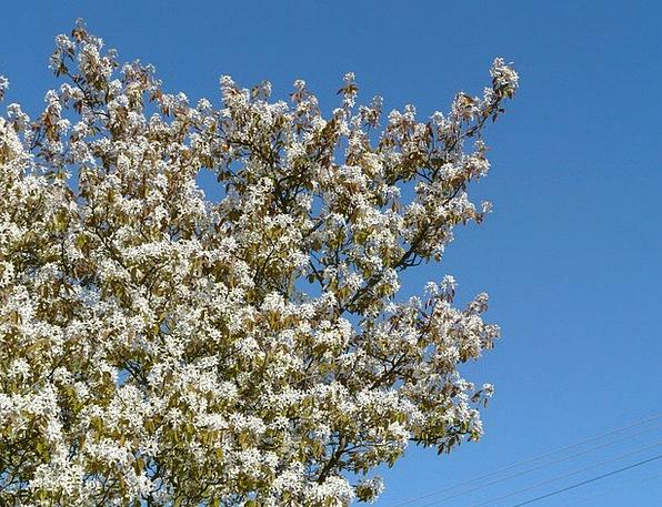 Star Magnolie Tree Sapling Magnolia Stellata Bush