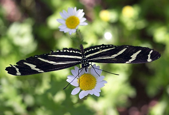 Butterfly Landscapes Plants Nature Daisy Flowers N