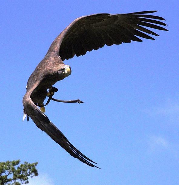 Eagle Fowl Flying Hovering Bird Birds Of Prey Flig