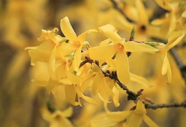 Forsythia Landscapes Nature Gold Lilac Garden Fors