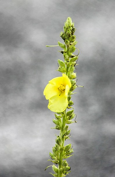 Mullein Landscapes Floret Nature Yellow Creamy Flo