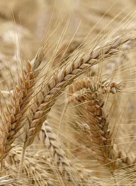 Spike Point Landscapes Nature Cereals Mueslis Rye