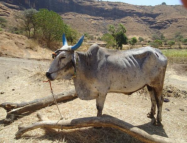 Bullock Physical Cattle Cows Animal Farm Work Dome
