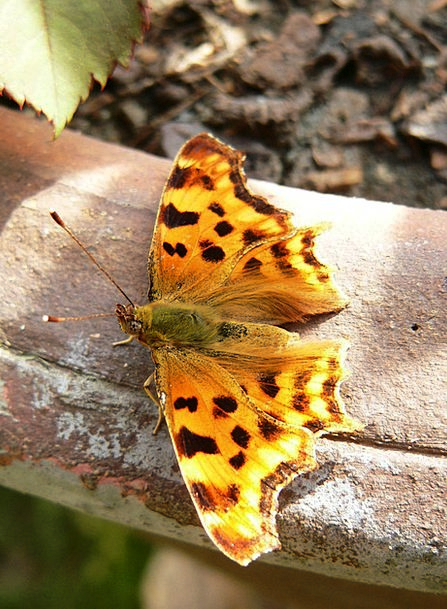 Butterfly Species Class Painted Lady Insect Bug Fa