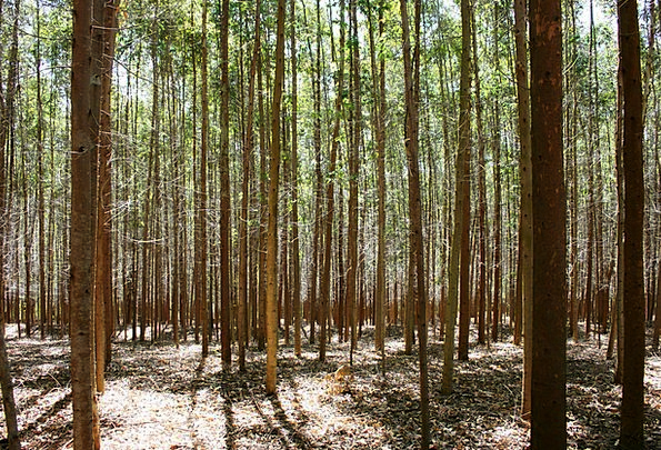 Forest Of Eucalyptus Landscapes Plants Nature Abst