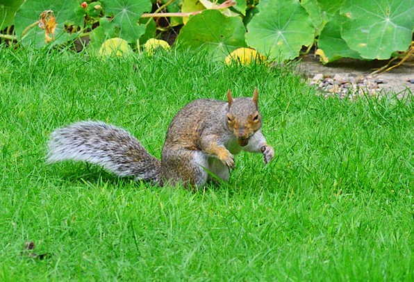 Grey Squirrel Rodent Nut In Its Mouth Squirrel Col