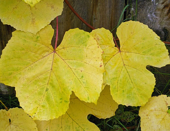 Leaves Greeneries Autumn Fall Grape Gold Gilded Gr
