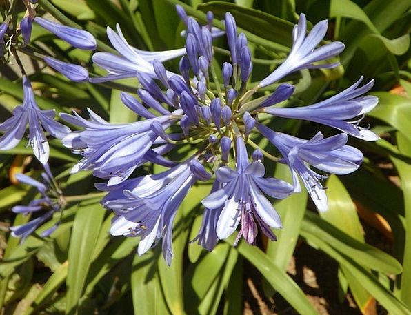 Blue Azure Landscapes Nature Lily Blue Lily Orname