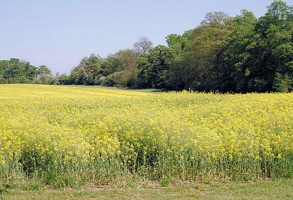 Rape Field Agricultural Plant Oilseed Rape Scenery