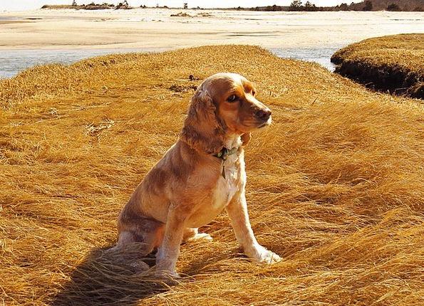 Dog Beach Seashore Cocker Spaniel Domestic Cape Co