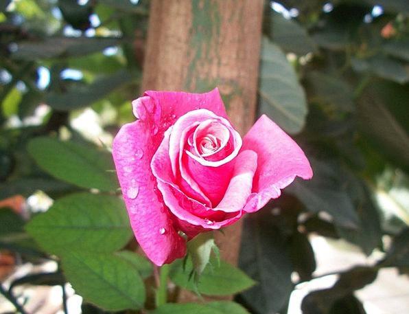 Flower Floret Design Pink Flushed Rose Beauty Love