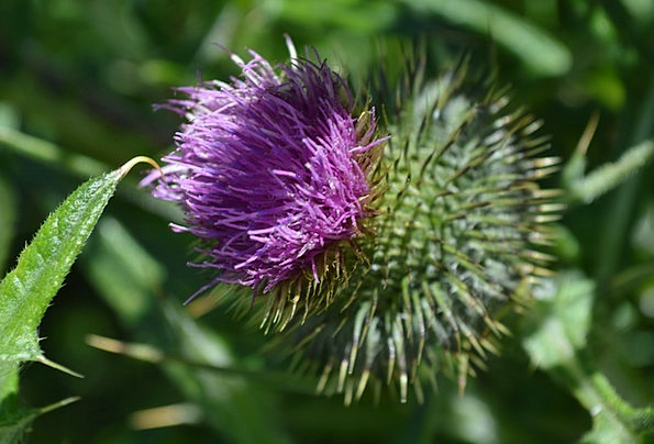 Purple Elaborate Landscapes Nature Bloom Thistle P