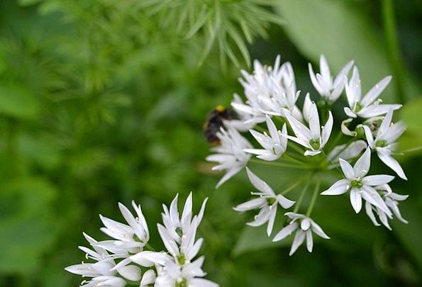 Wild Garlic Herb Basil White Flower Onion Tops Ran