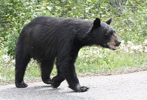 Black Bear Tolerate Jasper Bear Alberta Canada Ani