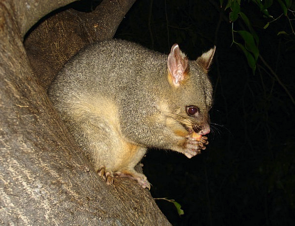 Possum Nature Marsupial Wildlife Animal Physical A